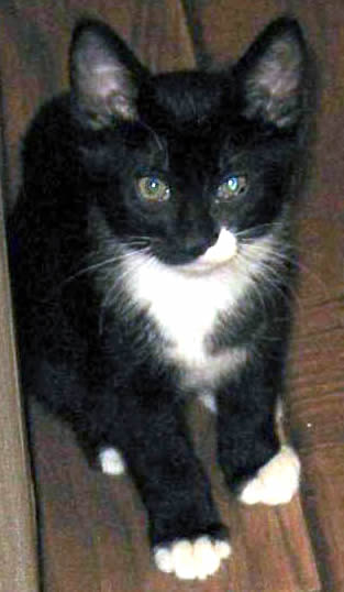 Black Cat With White Paws And Chest Breed